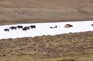 A yak herd